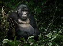 mountain-gorilla_small.jpg